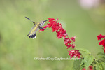 01162-13701 Ruby-throated Hummingbird (Archilochus colubris) at Salvia splendens Faye Chappell Marion Co. IL