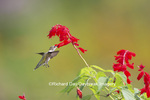 01162-13702 Ruby-throated Hummingbird (Archilochus colubris) at Salvia splendens Faye Chappell Marion Co. IL