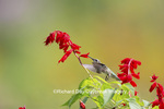 01162-13703 Ruby-throated Hummingbird (Archilochus colubris) at Salvia splendens Faye Chappell Marion Co. IL