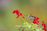 01162-13704 Ruby-throated Hummingbird (Archilochus colubris) at Salvia splendens Faye Chappell Marion Co. IL
