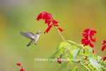 01162-13706 Ruby-throated Hummingbird (Archilochus colubris) at Salvia splendens Faye Chappell Marion Co. IL