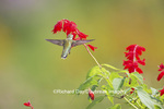 01162-13707 Ruby-throated Hummingbird (Archilochus colubris) at Salvia splendens Faye Chappell Marion Co. IL