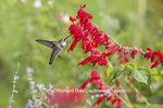 01162-13708 Ruby-throated Hummingbird (Archilochus colubris) at Salvia splendens Faye Chappell Marion Co. IL