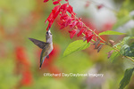 01162-13709 Ruby-throated Hummingbird (Archilochus colubris) at Salvia splendens Faye Chappell Marion Co. IL