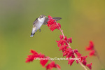 01162-13710 Ruby-throated Hummingbird (Archilochus colubris) at Salvia splendens Faye Chappell Marion Co. IL
