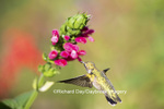 01162-13714 Ruby-throated Hummingbird (Archilochus colubris) at Salvia oxyphora Bolivian Hummingbird Sage Marion Co. IL