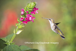 01162-13716 Ruby-throated Hummingbird (Archilochus colubris) at Salvia oxyphora Bolivian Hummingbird Sage Marion Co. IL