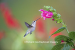 01162-13720 Ruby-throated Hummingbird (Archilochus colubris) at Salvia oxyphora Bolivian Hummingbird Sage Marion Co. IL