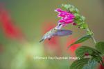 01162-13801 Ruby-throated Hummingbird (Archilochus colubris) at Salvia oxyphora Bolivian Hummingbird Sage Marion Co. IL