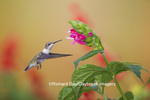 01162-13803 Ruby-throated Hummingbird (Archilochus colubris) at Salvia oxyphora Bolivian Hummingbird Sage Marion Co. IL