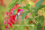 01162-13804 Ruby-throated Hummingbird (Archilochus colubris) at Salvia oxyphora Bolivian Hummingbird Sage Marion Co. IL