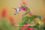 01162-13805 Ruby-throated Hummingbird (Archilochus colubris) at Salvia oxyphora Bolivian Hummingbird Sage Marion Co. IL