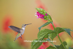 01162-13807 Ruby-throated Hummingbird (Archilochus colubris) at Salvia oxyphora Bolivian Hummingbird Sage Marion Co. IL