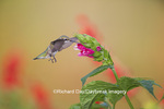 01162-13808 Ruby-throated Hummingbird (Archilochus colubris) at Salvia oxyphora Bolivian Hummingbird Sage Marion Co. IL
