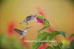 01162-13810 Ruby-throated Hummingbird (Archilochus colubris) at Salvia oxyphora Bolivian Hummingbird Sage Marion Co. IL