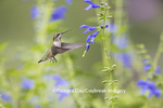 01162-13811 Ruby-throated Hummingbird (Archilochus colubris) at Salvia guaranitica Blue Ensign Marion Co. IL