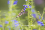01162-13812 Ruby-throated Hummingbird (Archilochus colubris) at Salvia guaranitica Blue Ensign Marion Co. IL