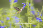01162-13813 Ruby-throated Hummingbird (Archilochus colubris) at Salvia guaranitica Blue Ensign Marion Co. IL