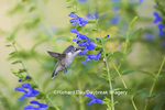 01162-13814 Ruby-throated Hummingbird (Archilochus colubris) at Salvia guaranitica Blue Ensign Marion Co. IL