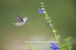 01162-13815 Ruby-throated Hummingbird (Archilochus colubris) at Salvia guaranitica Blue Ensign Marion Co. IL
