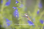 01162-13816 Ruby-throated Hummingbird (Archilochus colubris) at Salvia guaranitica Blue Ensign Marion Co. IL