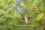 01162-13818 Ruby-throated Hummingbird (Archilochus colubris) at Salvia guaranitica Blue Ensign Marion Co. IL
