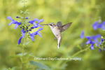 01162-13819 Ruby-throated Hummingbird (Archilochus colubris) at Salvia guaranitica Blue Ensign Marion Co. IL