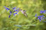 01162-13820 Ruby-throated Hummingbird (Archilochus colubris) at Salvia guaranitica Blue Ensign Marion Co. IL