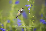 01162-13901 Ruby-throated Hummingbird (Archilochus colubris) at Salvia guaranitica Blue Ensign Marion Co. IL