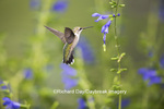 01162-13902 Ruby-throated Hummingbird (Archilochus colubris) at Salvia guaranitica Blue Ensign Marion Co. IL
