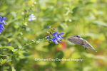 01162-13905 Ruby-throated Hummingbird (Archilochus colubris) at Salvia guaranitica Blue Ensign Marion Co. IL