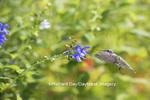 01162-13905 Ruby-throated Hummingbird (Archilochus colubris) at Salvia guaranitica Blue Ensign Marion Co. IL