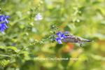 01162-13906 Ruby-throated Hummingbird (Archilochus colubris) at Salvia guaranitica Blue Ensign Marion Co. IL