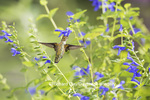 01162-13907 Ruby-throated Hummingbird (Archilochus colubris) at Salvia guaranitica Blue Ensign Marion Co. IL