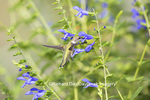 01162-13908 Ruby-throated Hummingbird (Archilochus colubris) at Salvia guaranitica Blue Ensign Marion Co. IL