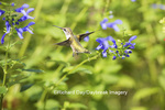 01162-13909 Ruby-throated Hummingbird (Archilochus colubris) at Salvia guaranitica Blue Ensign Marion Co. IL
