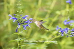 01162-13910 Ruby-throated Hummingbird (Archilochus colubris) at Salvia guaranitica Blue Ensign Marion Co. IL