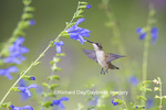 01162-13911 Ruby-throated Hummingbird (Archilochus colubris) at Salvia guaranitica Blue Ensign Marion Co. IL