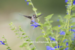 01162-13912 Ruby-throated Hummingbird (Archilochus colubris) at Salvia guaranitica Blue Ensign Marion Co. IL