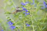 01162-13913 Ruby-throated Hummingbird (Archilochus colubris) at Salvia guaranitica Blue Ensign Marion Co. IL