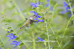 01162-13914 Ruby-throated Hummingbird (Archilochus colubris) at Salvia guaranitica Blue Ensign Marion Co. IL