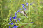01162-13915 Ruby-throated Hummingbird (Archilochus colubris) at Salvia guaranitica Blue Ensign Marion Co. IL