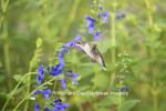 01162-13915 Ruby-throated Hummingbird (Archilochus colubris) at Salvia guaranitica Blue Ensign Marion Co. IL