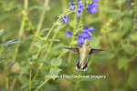 01162-13916 Ruby-throated Hummingbird (Archilochus colubris) at Salvia guaranitica Blue Ensign Marion Co. IL