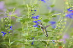 01162-13917 Ruby-throated Hummingbird (Archilochus colubris) at Salvia guaranitica Blue Ensign Marion Co. IL