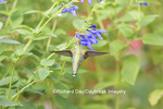 01162-13918 Ruby-throated Hummingbird (Archilochus colubris) at Salvia guaranitica Blue Ensign Marion Co. IL