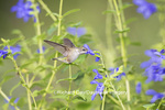 01162-13919 Ruby-throated Hummingbird (Archilochus colubris) at Salvia guaranitica Blue Ensign Marion Co. IL
