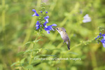 01162-13920 Ruby-throated Hummingbird (Archilochus colubris) at Salvia guaranitica Blue Ensign Marion Co. IL