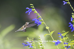 01162-14003 Ruby-throated Hummingbird (Archilochus colubris) at Salvia guaranitica Blue Ensign Marion Co. IL