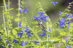 01162-14004 Ruby-throated Hummingbird (Archilochus colubris) at Salvia guaranitica Blue Ensign Marion Co. IL